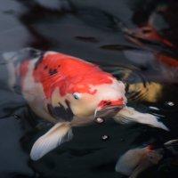 池の鯉の餌やり